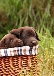 Basket brown Lab