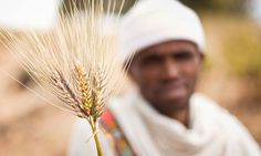 """""""GM agriculture is not the answer to seed diversity – it's part of the problem""""   Teresa Anderson - The Guardian"""