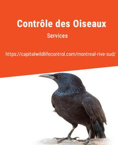 Capital Wildlife Control South Shore are the experts in animal pest management and bird removal in Beloeil, Boucherville, Brossard, Longueuil. Pigeon, La Rive, Pest Management, Removal Services, Starling, Wildlife, How To Remove, Sparrows, Safety