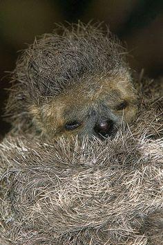 Sleepy time for a dozy three-toed sloth.