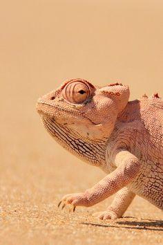Namaqua Chameleon by ChantelleS