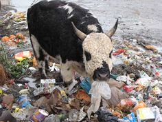 Trash Eating Cow  So sad, so so sad