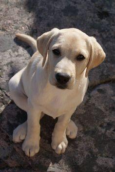 ♥ Yellow Labrador