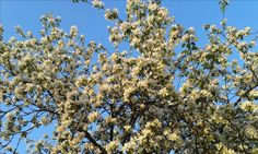 Kukkiva omenapuu