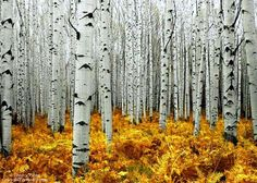Mystified in the Aspen Woods - Colorful Footsteps