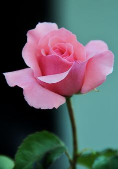 Delicate and Beautiful Rose!