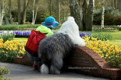 watching the flowers together | OES | Old English Sheepdog