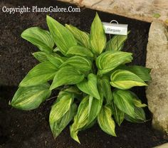 Hosta 'Stargate' from The Hosta Helper - Presented by PlantsGalore.Com