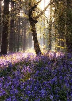 best bluebell walks around the UK