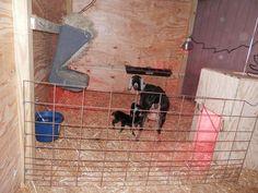 Bonnie's New Year Kids Mini Goats, Starting A Farm, Nubian Goat, Backyard Barn, Cattle Panels, Goat Care, Boer Goats, Nigerian Dwarf Goats, Raising Goats