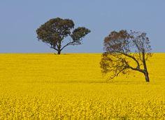 Canola field in Northern Victoria
