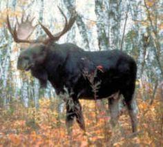 Alaska State Land Mammal - Moose