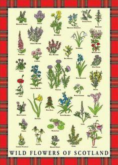 Wild Flowers of Scotland