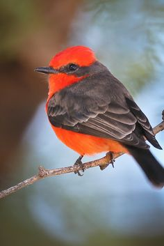 Vermilion Flycatcher, Wings, Bird, Animals, Animales, Animaux, Birds, Animal Memes, Feathers