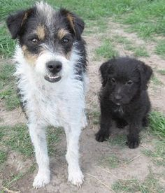 This is Raz, a one year old Jack-a-Poo, and her Poodle mix son as a young pup. Raz is half Toy Poodle and half Jack Russell Terrier