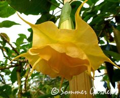 A new Sommer Gardens angel trumpet - Brugmansia 'Orange Julius'.   Sommer Gardens is one of the leading hybridizers/growers of brugmansia in the world.  http://SommerGardens.com