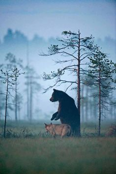 The amazing pictures below, taken by Lassi Rautiainen, Susan Brookes, and Staffan Widstrand, depict the unusual friendship between a female gray wolf and a male brown bear in northern Finland. Artic Animals, Baby Animals, Wild Animals, Baby Pandas, Woodland Creatures, Woodland Animals, Wildlife Photography, Animal Photography, Photography Series