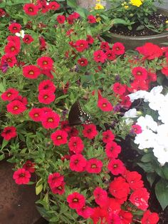 Potted annuals.