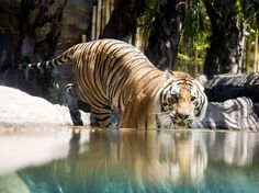 WADING TIME Tigers aren't the only cats that like water but they are certainly the biggest. - Big Cat Week Gallery - Nat Geo WILD