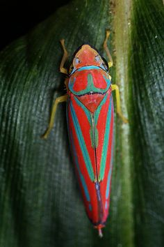 red-banded leafhopper by myriorama, via Flickr