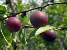 Camu-camu, Myrciaria dubia, is one of the most famous fruits of the Amazon.