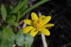 Talven tähti, ei vaan rentukka :) | Vesan viherpiperryskuvat – puutarha kukkii