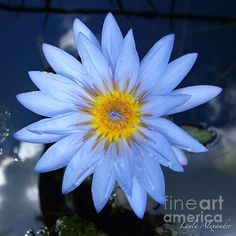 'Blue Water Lily Star Sun and Clouds Square' by Layla Alexander. Buy prints and throw pillows at Fine Art America.