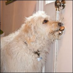 This is an extremely useful trick, perfect for house training puppies. The attractiveness of using a bell to let you know when your dog needs to go out is that you can hear it all over the house. Puppies don't have enough experience to come get you to take them out. In fact, the most common sign is spinning around. More often than not, you aren't around to see! Using a bell, you'll be able to hear every single time your dog needs some time outside.