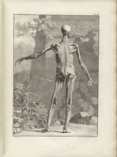 Table 7 of Bernhard Siegfried Albinus' Tabulae sceleti et musculorum corporis humani, 1749, featuring a full length posterior view of a flayed corpse with its left arm is extended. The exterior muscles have been removed to show the muscles underneath.