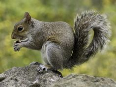 📸 Get this free picture Photo of Squirrel Holding Nut During Daytime    👉 https://avopix.com/photo/43937-photo-of-squirrel-holding-nut-during-daytime    #rodent #squirrel #mammal #fox squirrel #tree squirrel #avopix #free #photos #public #domain