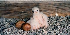 Peregrine Falcon baby