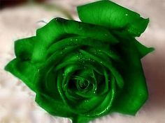 Discover & share this 34 GIF with everyone you know. Rose Flower Wallpaper, Green Wallpaper, Flower Backgrounds, Green Rose, Green Flowers, Emerald Green, Black And White Flowers, Beautiful Rose Flowers, Rose Pictures