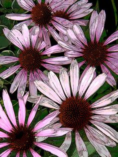 Posterized Pink Daisies by Mary Sedivy. A boring photo of purple coneflowers morphs into retro flower power in pink as Photoshop art.