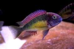 Tropheus Moorii Kasanga Red Rainbow by Glen S. Mears Jr., via Flickr