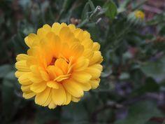 Calendula, Rose, Plants, Herbal Medicine, Paper, Flowers, Herbs, Index Cards, Roses