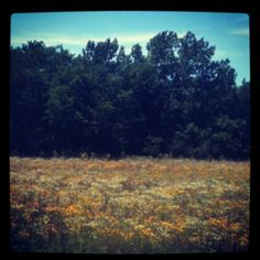 wildflower field.....blackeyed susan's and queen ann's lace.