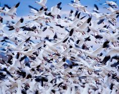 Animal Migration Snow Geese