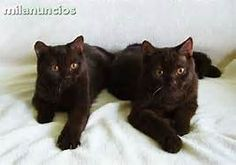 I am just determined to track down a chocolate British Shorthair!