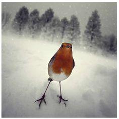 La foto sembra un sogno: quando lo scatto è poesia -pettirosso sulla neve - robin on the snow