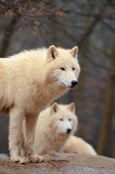 Arctic Wolves by Mária Kristínková