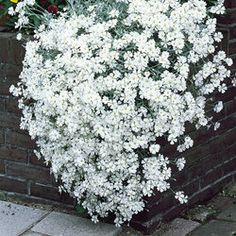 the side of the rockery?  Cerastium (Snow in Summer).  rampant!!