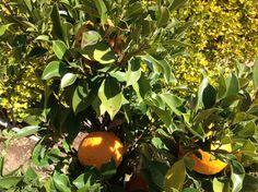 Árbol de mandarinas