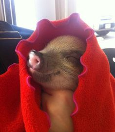 Funny pictures about This little piggy. Oh, and cool pics about This little piggy. Also, This little piggy. Pigs In A Blanket, Red Blanket, Farm Animals, Funny Animals, Cute Animals, This Little Piggy, Little Pigs, Happy Pig, Funny Happy