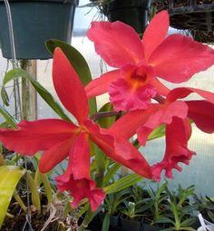 Cattleya é um gênero de orquídeas de flores belíssimas, de tamanho grande, muito chamativa e vistosa, de cores com tonalidades intensas e mescladas, de belos formatos, muito popular, e com inúmeros híbridos. Na natureza existem cerca de 60 espécies puras de Cattleya, dispersas pelas florestas tropicais da América Latina, do México até a Argentina, algumas espécies vivendo em áreas mais secas, submetidas a mais insolação, outras em áreas mais sombreadas e úmidas, crescem desde o nível do mar…