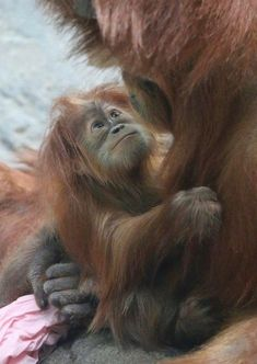 The look of love: baby orangutan gazing up at Mom. The eyes say it all. Primates, Mammals, Nature Animals, Animals And Pets, Strange Animals, Beautiful Creatures, Animals Beautiful, Cute Baby Animals, Funny Animals