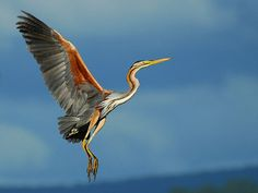 bird photography | Beautiful Examples of Bird Photography - Garça Vermelha / Purple ...