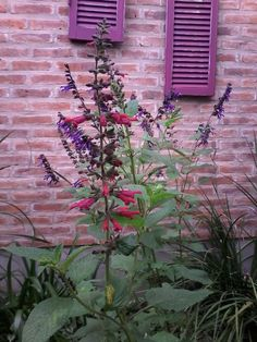 salvia cherry red y purple magestic