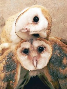 Barn Owls, photographer unknown