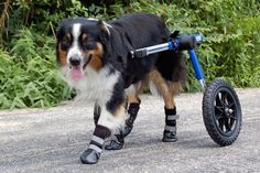 Walkin' Wheels dog boots and dog wheelchair