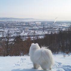 """Доброе утро! Good morning! Photo by @vladkasatkinru #samoyed #samoieda #snowdog #ilovemydog #odingram #winter #outdoor #самоед"""